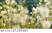Купить «A lot of dandelions at field», видеоролик № 27333661, снято 24 мая 2017 г. (c) Илья Шаматура / Фотобанк Лори