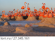 Caribbean Flamingo (Phoenicopterus ruber) breeding colony, Ria Lagartos Biosphere Reserve, Yucatan Peninsula, Mexico, June. Finalist in the Portfolio Category... Стоковое фото, фотограф Claudio  Contreras / Nature Picture Library / Фотобанк Лори
