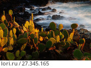Купить «Prickly pear (Opuntia sp.) growing on coastline, Socorro Island, Revillagigedo Archipelago National Park (Socorro Islands), Pacific Ocean, Western Mexico...», фото № 27345165, снято 25 января 2020 г. (c) Nature Picture Library / Фотобанк Лори
