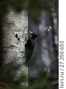 Купить «Black woodpecker (Dryocopus martius) excavating nest in tree trunk, Valga County, Estonia. April. Highly commended in the Portfolio category of the Terre Sauvage Nature Images Awards 2017.», фото № 27350653, снято 20 февраля 2018 г. (c) Nature Picture Library / Фотобанк Лори
