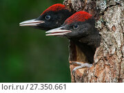 Купить «Black woodpecker (Dryocopus martius) chicks peering out of nest hole in tree trunk,  Valga County, Estonia. June. Highly commended in the Portfolio category...», фото № 27350661, снято 20 февраля 2018 г. (c) Nature Picture Library / Фотобанк Лори