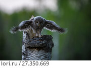 Купить «Ural owl (Strix uralensis) chick standing on edge of nest in tree stump stretching wings, Tartu County, Estonia. April. Second Place in the Portfolio category...», фото № 27350669, снято 20 августа 2018 г. (c) Nature Picture Library / Фотобанк Лори