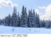 Купить «Зимний пейзаж. Еловый лес зимой», фото № 27350785, снято 3 января 2015 г. (c) Евгений Ткачёв / Фотобанк Лори