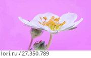 Купить «Flower of a strawberry plant. HD video», видеоролик № 27350789, снято 5 января 2018 г. (c) Parmenov Pavel / Фотобанк Лори