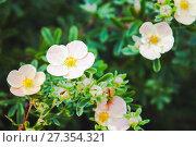 Купить «Dasiphora fruticosa flowers», фото № 27354321, снято 23 сентября 2017 г. (c) EugeneSergeev / Фотобанк Лори