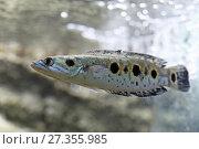Змееголов глазчатый, Пятнистый змееголов (Channa pleurophthalma) крупным планом в аквариуме. Стоковое фото, фотограф Григорий Писоцкий / Фотобанк Лори
