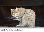 Купить «Серый полосатый дворовый кот умывается на мартовском солнышке», фото № 27358601, снято 2 марта 2017 г. (c) Овчинникова Ирина / Фотобанк Лори