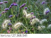 Купить «Pennisetum villosum, Argentinian Vervain.», фото № 27368541, снято 21 сентября 2017 г. (c) age Fotostock / Фотобанк Лори