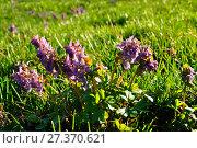 Купить «Хохлатка плотная (Corydalis galleri) весной в лесу», фото № 27370621, снято 16 апреля 2016 г. (c) Зезелина Марина / Фотобанк Лори