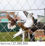 Breeding pigeons in cage at the pet market. Стоковое фото, фотограф Андрей Силивончик / Фотобанк Лори