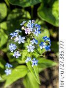 Купить «Natural background of forget-me flowers», фото № 27385777, снято 26 мая 2015 г. (c) Евгений Ткачёв / Фотобанк Лори
