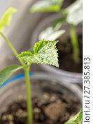 Купить «Green sprout cucumber growing in a pot», фото № 27385813, снято 27 мая 2014 г. (c) Евгений Ткачёв / Фотобанк Лори