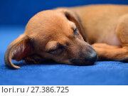 Купить «Щенок таксы спит на синем фоне», фото № 27386725, снято 18 января 2015 г. (c) Арестов Андрей Павлович / Фотобанк Лори