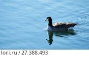 Купить «Ducks swimming inlake - central park, New York», видеоролик № 27388493, снято 25 апреля 2018 г. (c) Константин Шишкин / Фотобанк Лори
