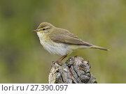 Купить «Willow Warbler (Phylloscopus trochilus) Perched on dead tree stump, Bedfordshire, England, UK, April», фото № 27390097, снято 20 августа 2018 г. (c) Nature Picture Library / Фотобанк Лори