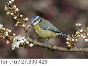 Купить «Blue tit (Parus caeruleus) perched among blossom, Buckinghamshire, England, UK, March», фото № 27390429, снято 16 августа 2018 г. (c) Nature Picture Library / Фотобанк Лори