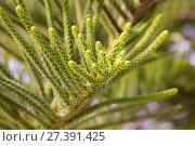 evergreen araucaria heterophylla. Стоковое фото, фотограф Яков Филимонов / Фотобанк Лори