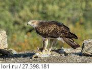 Купить «Bonelli's Eagle (Hieraaetus fasciatus) with rabbit prey, Spain, June.», фото № 27398181, снято 24 января 2018 г. (c) Nature Picture Library / Фотобанк Лори