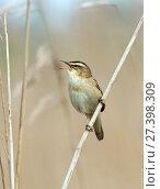 Купить «Sedge warbler (Acrocephalus schoenobaenus) singing, Greylake RSPB Reserve, Somerset Levels, England, UK, May.», фото № 27398309, снято 23 февраля 2018 г. (c) Nature Picture Library / Фотобанк Лори