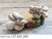 Купить «Fresh oyster mushrooms on a wooden stump», фото № 27403289, снято 27 января 2017 г. (c) Марина Сапрунова / Фотобанк Лори