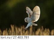 Купить «Barn owl (Tyto alba) in flight, hunting, Hampshire, England, UK. Captive.», фото № 27403781, снято 25 сентября 2018 г. (c) Nature Picture Library / Фотобанк Лори