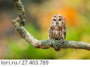 Купить «Tawny owl (Strix aluco) perched on branch, UK. Captive.», фото № 27403789, снято 25 сентября 2018 г. (c) Nature Picture Library / Фотобанк Лори
