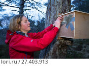 Becky Priestley, Wildlife Officer with Trees for Life, removing tape from  transit box containing Red squirrel (Sciurus vulgaris). Translocation part of... Редакционное фото, фотограф SCOTLAND: The Big Picture / Nature Picture Library / Фотобанк Лори