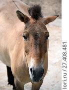 Лошадь Пржевальского (лат. Equus przewalskii) (2016 год). Редакционное фото, фотограф Free Wind / Фотобанк Лори