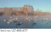 Купить «Swans on lake in the morning mist at early morning», видеоролик № 27409677, снято 18 марта 2016 г. (c) Serg Zastavkin / Фотобанк Лори