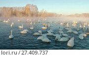 Купить «Swans on lake in the morning mist at early morning», видеоролик № 27409737, снято 18 марта 2016 г. (c) Serg Zastavkin / Фотобанк Лори