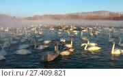 Купить «Swans on lake in the morning mist at early morning», видеоролик № 27409821, снято 18 марта 2016 г. (c) Serg Zastavkin / Фотобанк Лори