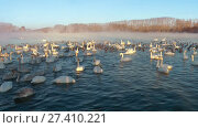 Купить «Swans on lake in the morning mist at early morning», видеоролик № 27410221, снято 18 марта 2016 г. (c) Serg Zastavkin / Фотобанк Лори