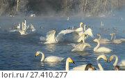 Купить «Swans on lake in the morning mist at early morning», видеоролик № 27410277, снято 18 марта 2016 г. (c) Serg Zastavkin / Фотобанк Лори