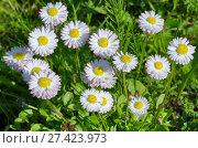 Купить «Белые маргаритки (лат. Bellis perennis) в саду», фото № 27423973, снято 7 июня 2017 г. (c) Елена Коромыслова / Фотобанк Лори