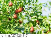 Купить «Ветка унаби (зизифус настоящий, китайский финик, чапыжник, жужуба, лат. Ziziphus jujuba) со спелыми плодами. Хороший осенний урожай», фото № 27426117, снято 24 сентября 2017 г. (c) Наталья Гармашева / Фотобанк Лори