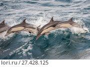 Long beaked common dolphin (Delphinus capensis) pod porpoising Baja California, Mexico. Стоковое фото, фотограф Mark Carwardine / Nature Picture Library / Фотобанк Лори