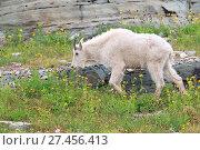 Купить «Schneeziege Mountain Goat Glacier National Park», фото № 27456413, снято 19 февраля 2020 г. (c) age Fotostock / Фотобанк Лори