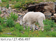 Купить «Schneeziege Mountain Goat Glacier National Park», фото № 27456497, снято 23 марта 2019 г. (c) age Fotostock / Фотобанк Лори