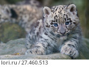 RF - Snow leopard (Panthera uncia) cub age three months, captive. (This image may be licensed either as rights managed or royalty free.) Стоковое фото, фотограф Edwin Giesbers / Nature Picture Library / Фотобанк Лори