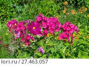 Купить «Космея и флоксы цветут в саду», эксклюзивное фото № 27463057, снято 5 августа 2017 г. (c) Елена Коромыслова / Фотобанк Лори