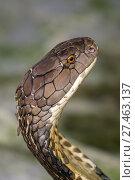 Купить «Cobra snake closeup», фото № 27463137, снято 31 декабря 2017 г. (c) Михаил Коханчиков / Фотобанк Лори