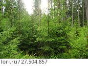 Купить «Forest with evergreen young fur-trees», фото № 27504857, снято 27 октября 2017 г. (c) Александр Птах / Фотобанк Лори