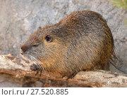 Coypu (Myocastor coypus), also known as river rat or nutria, large, herbivorous, semiaquatic rodent. Стоковое фото, фотограф Валерия Попова / Фотобанк Лори