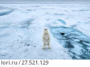 RF - Polar bear (Ursus arctos) standing on hind legs on sea ice, Svalbard, Norway. (This image may be licensed either as rights managed or royalty free.) Стоковое фото, фотограф Andy Rouse / Nature Picture Library / Фотобанк Лори