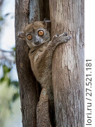 RF - Daraina Sportive Lemur (Lepilemur milanoii) in day time rest tree hole in dry forest, northern Madagascar. (This image may be licensed either as rights managed or royalty free.) Стоковое фото, фотограф Nick Garbutt / Nature Picture Library / Фотобанк Лори