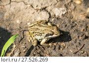 Лягушка остромордая, болотная Rana arvalis. Стоковое фото, фотограф Дудакова / Фотобанк Лори