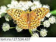 Купить «Marsh Fritillary butterfly (Euphydryas aurinia) feeding from Buttercup flower», фото № 27534437, снято 27 июля 2016 г. (c) Евгений Ткачёв / Фотобанк Лори