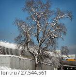 Купить «Москва, большой тополь у ТТК», эксклюзивное фото № 27544561, снято 1 февраля 2018 г. (c) Дмитрий Неумоин / Фотобанк Лори