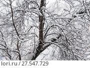 Деревья покрытые толстым слоем снега в сильный снегопад. Московская зима (2018 год). Стоковое фото, фотограф Алёшина Оксана / Фотобанк Лори