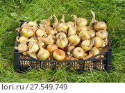 Купить «Ящик репчатого лука на траве», фото № 27549749, снято 21 августа 2017 г. (c) Елена Коромыслова / Фотобанк Лори